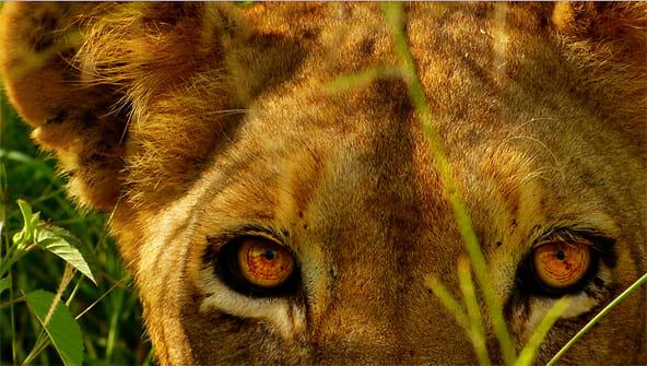 lion1_592