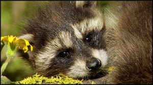Young Raccoon in Yellowstone National Park