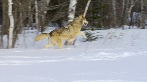 wolves keeping nature in balance essay Leopold also pointed out that the first rule of intelligent tinkering with natural ecosystems was to keep all the pieces as leopold wrote in his essay the land ethic, a land ethic does affirm what good are wolves.