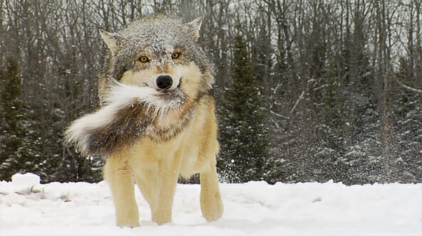 wolves keeping nature in balance essay What is your opinion of the balance of nature hypothesis would the deer population be better off, worse wolves do more than keep deer numbers.