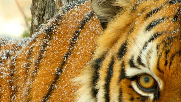 For nature and wildlife filmmakers, filming a siberian tiger is a rare treat