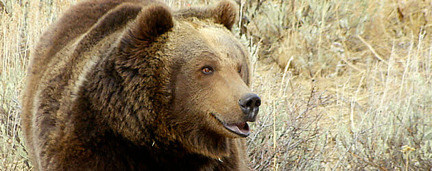 grizzly_630X250