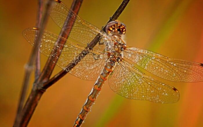 Dew_Dragonfly