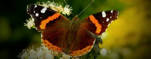 butterfly_featured