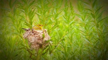 A goldfinch sitting on its nest. Would you share its location?