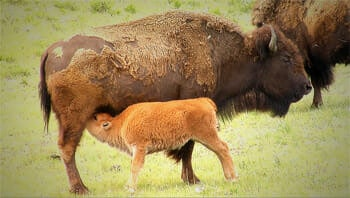 Filming a baby bison or red dog nursing