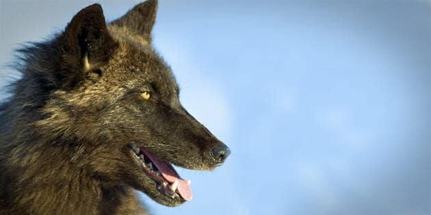 A black wolf surveys its surroundings