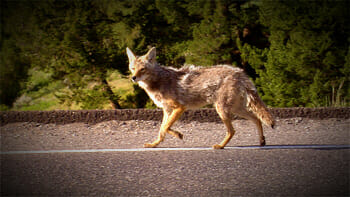 A Yellowstone Coyote crosses the road as it makes its way into the valley