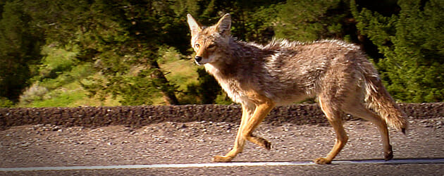 coyote_featured