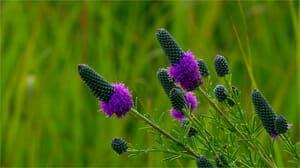Purple Prairie CLove ron the tallgrass prairie