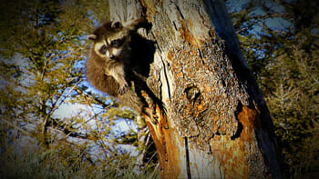 A young raccoon hangs on to a dead tree trunk