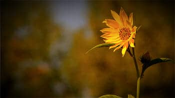 Tallgrass prairie flower