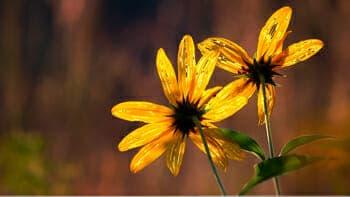 Prairie_Flowers2_350