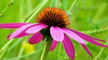 purple_coneflower_350