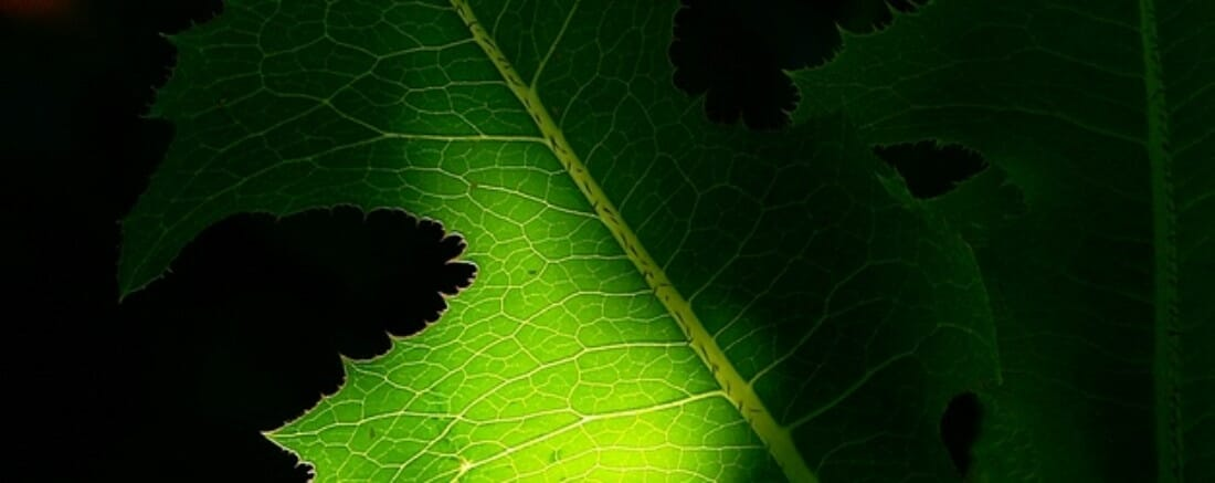A green leaf is backlit by the rising sun