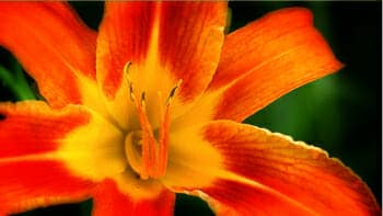 A Michigan Lily grows wild in Iowa
