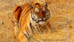 A Siberian Tiger crouches in the tall grass