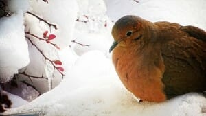 A mourning dove seeks shelter in the winter