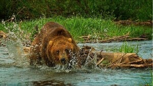 Grizzly bear running at camera