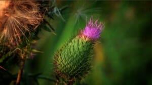 A thistle in a tallgrass prairie