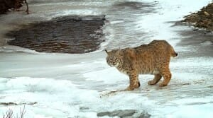 A bobcat walks on a frozen creek in Montana