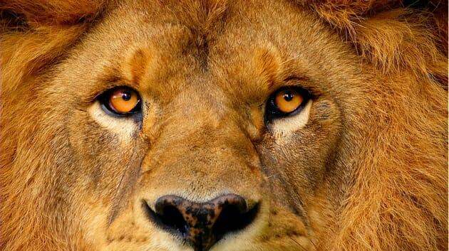 lion1_630
