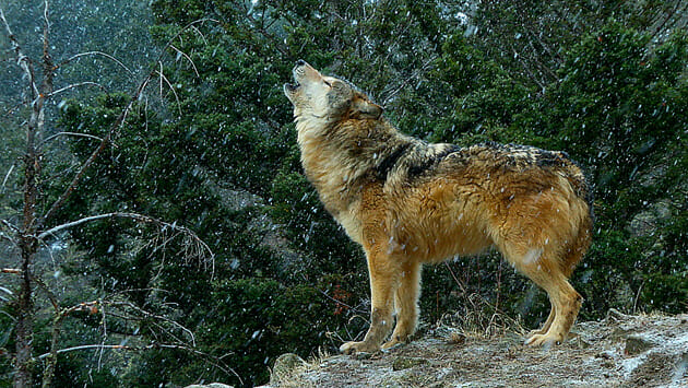 wolf_howl1_630