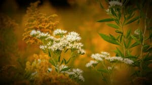 tallgrass prairie goldenrod