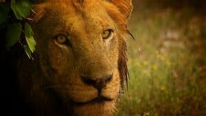 rain_lion copy