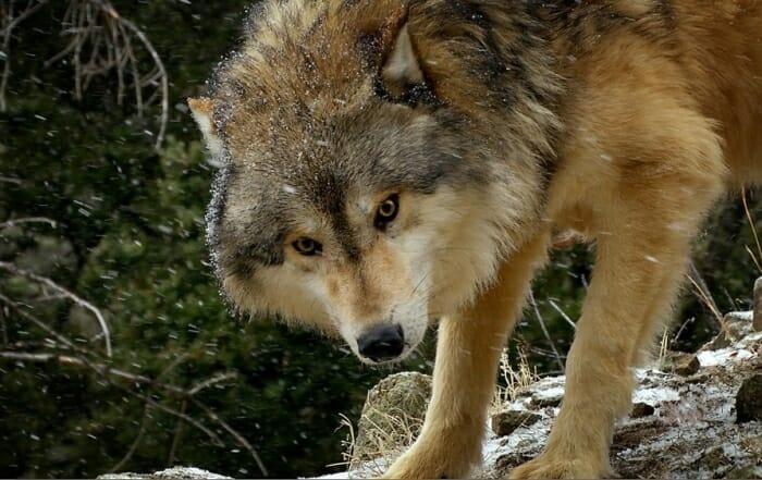 wolfc