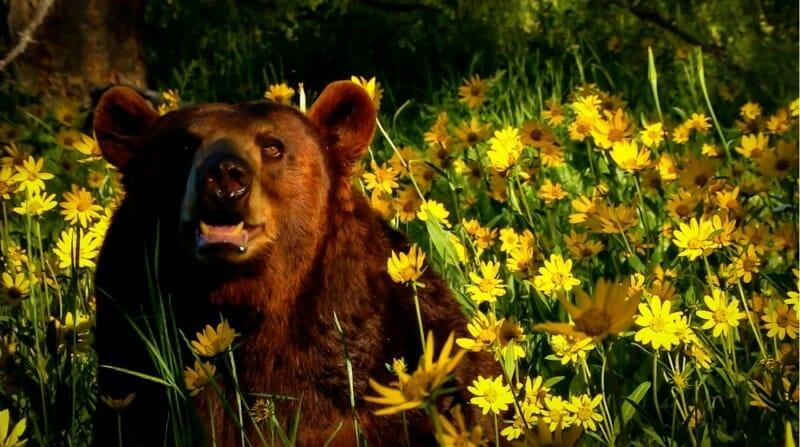 Yellowstone_ Black_Bear
